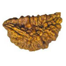 One Mukhi Rudraksha Bead - Nepal, regular