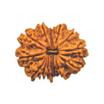 Fourteen Mukhi Rudraksha Bead - Nepal, regular