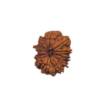 Eleven Mukhi Rudraksha Bead - Nepal, regular