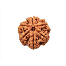 Six Mukhi Rudraksha Bead - Nepal, regular