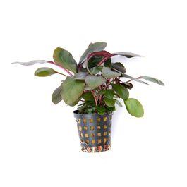 Tissue Culture Lobilia cardinalis - Live Aquarium plants, 1 pack