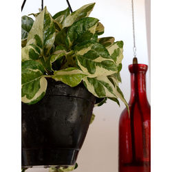 MUD FINGERS Money Plant (Variegated)